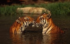 amore, coppia di tigri