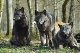 lupo specie protetta