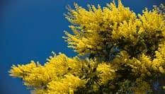 allergie, mimose