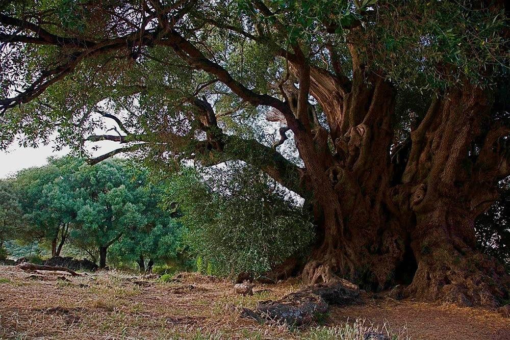 un bosco in tempesta - Ulivo selvatico di Luras, Sardegna