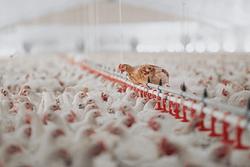 allevamento intensivo pollo