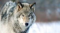 Un bell'esemplare di lupo grigio