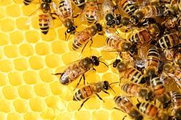 produzione di miele delle api