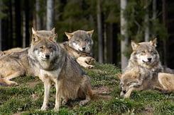 il lupo vive in branco