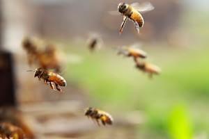 Virus IAPV: il distanziamento delle api