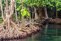 le mangrovie assorbono le emissioni di CO2