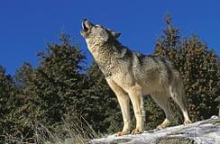 Takaya, il lupo solitario famoso in Canada