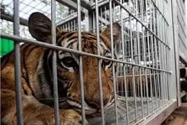 tigri in cattività
