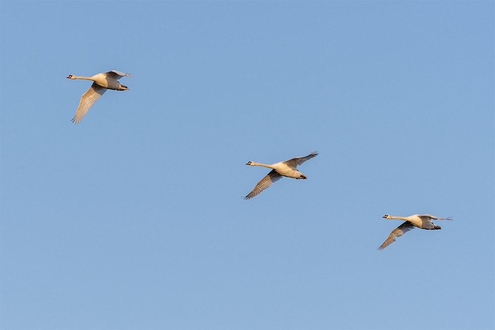 Parco Nazionale del Circeo, cigni reali in volo