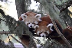 Una coppia di piccoli gemelli di panda rosso