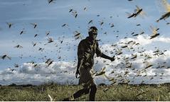 Africa - Invasione di cavallette (Courtesy IRC)