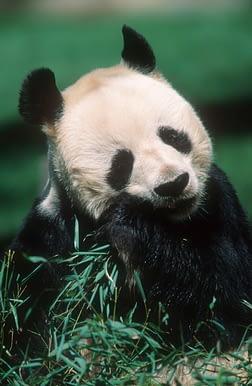 Armonia con la natura - il panda